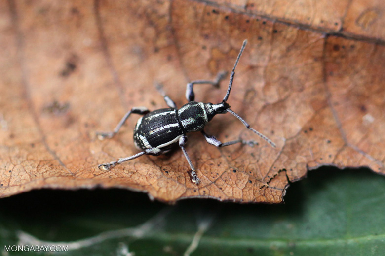 Black and yellow weevil