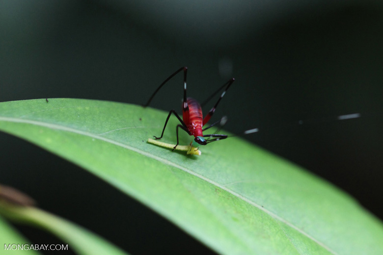 Red katydid with a green head and black legs