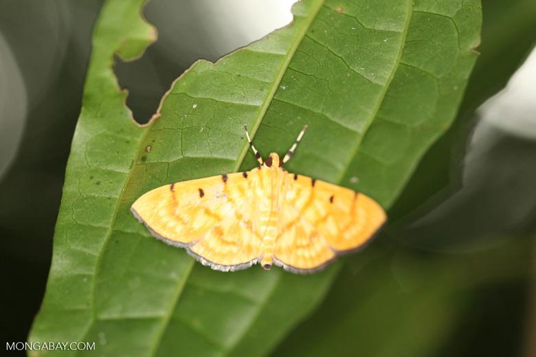 Orange and yellow moth