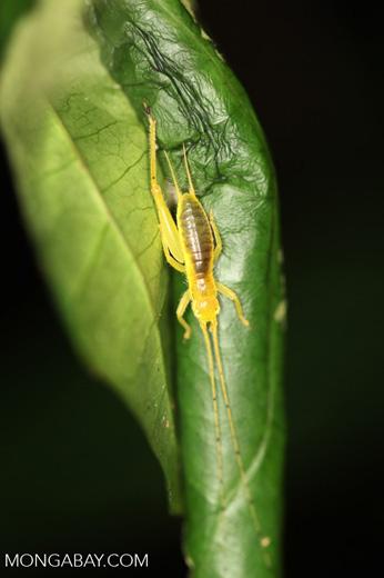 Yellow katydid