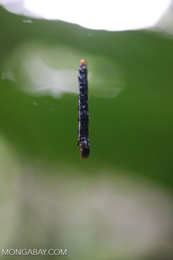 Black hanging worm