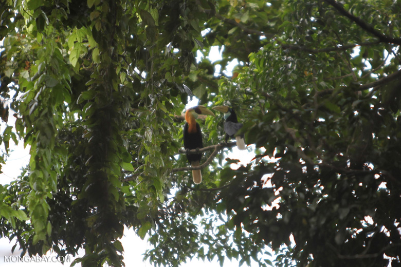 Papuan Hornbill (Rhyticeros plicatus) [Male and female]