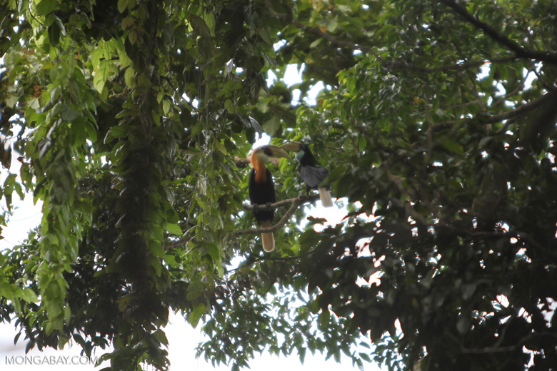 Blyth's Hornbills (Rhyticeros plicatus); local name: kokomo
