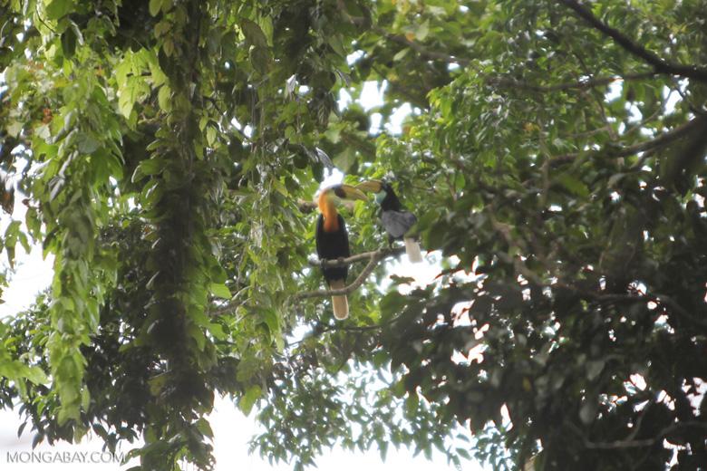 Papuan Hornbills (Rhyticeros plicatus); local name: kokomo