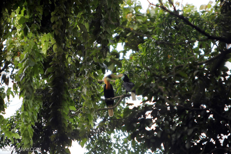 Blyth's Hornbill (Rhyticeros plicatus) [Male and female]