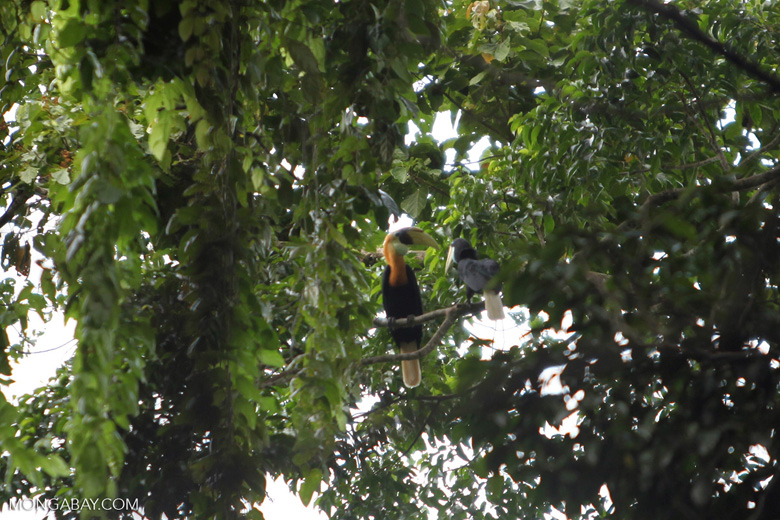 Male and female Papuan Hornbill (Rhyticeros plicatus)