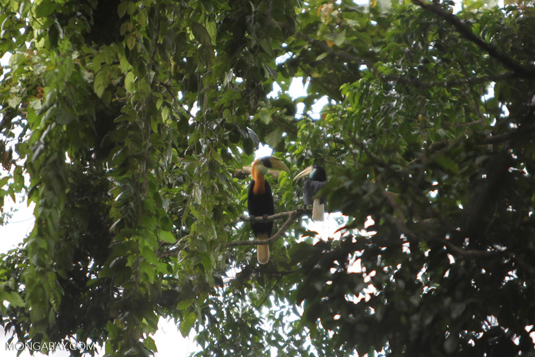 Male and female Papuan Hornbills (Rhyticeros plicatus) in the rainforest canopy in New Guinea