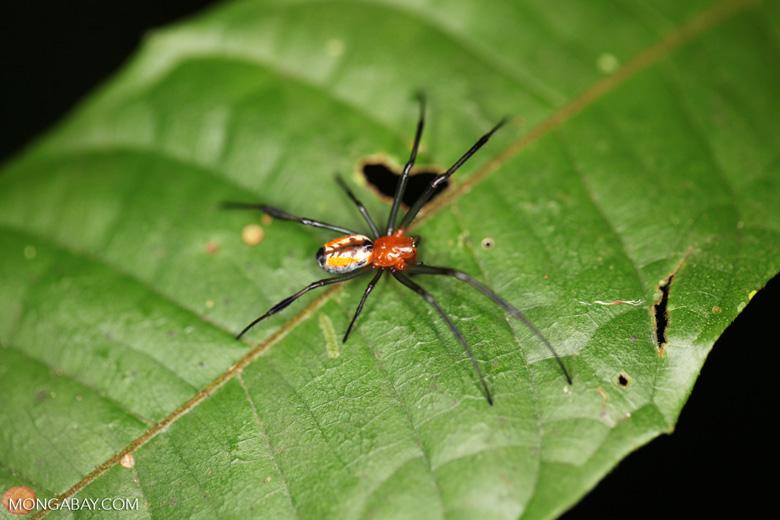 Orange spider with black legs