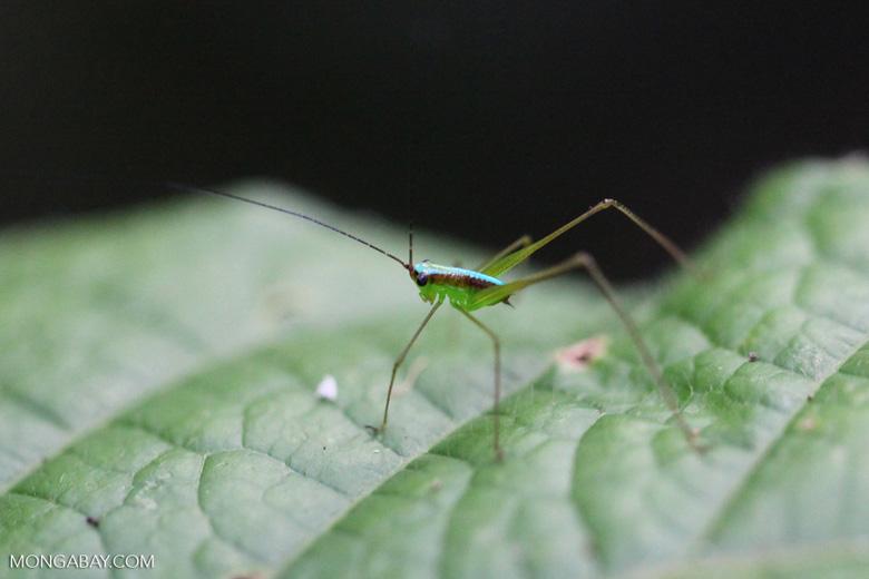 Green katydid with a neon blue racing stripe