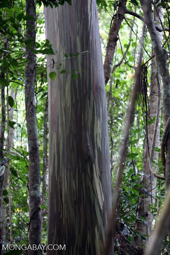Rainforest eucalyptus in New Guinea