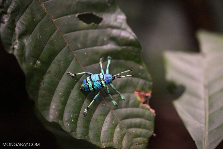 Schoenherr's blue weevil (Eupholus schoenherri - Curculionidae family), a spectacular blue and turquoise beetle from New Guinea [not Eupholus bennetti]