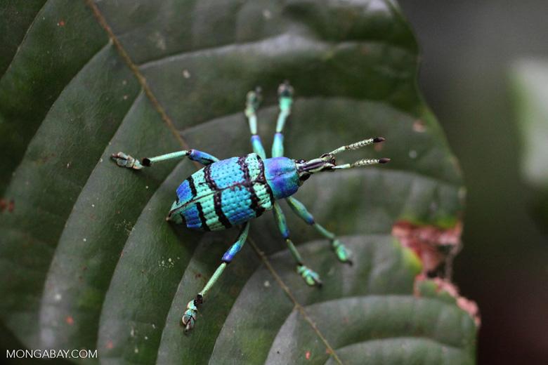 Schoenherr's blue weevil (Eupholus schoenherri - Curculionidae family) [not Eupholus bennetti]