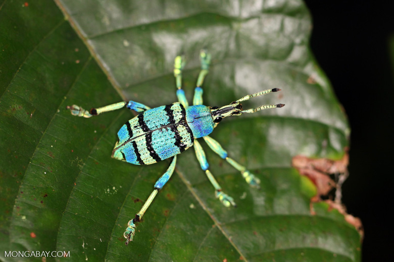 Schoenherr's blue weevil (Eupholus schoenherri), a spectacular blue and turquoise beetle from New Guinea