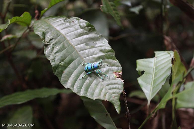 Schoenherr's blue weevil (Eupholus schoenherri - Curculionidae family)