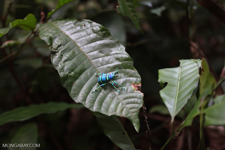 Blue and turquoise beetle from New Guinea