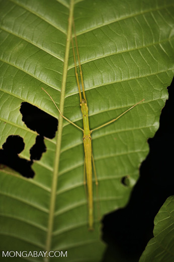 Stick insect in the New Guinea rainforest