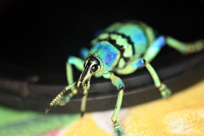 Blue and turquoise weevil (Eupholus schoenherri - Curculionidae family)