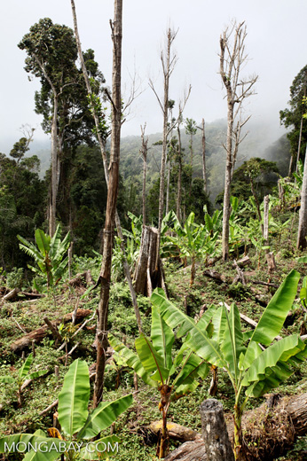 Rotational forest clearing for banana and other crops