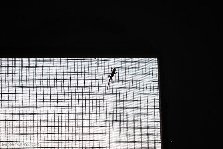 Gecko on a window screen