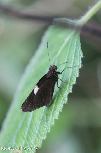 Black skipper butterfly