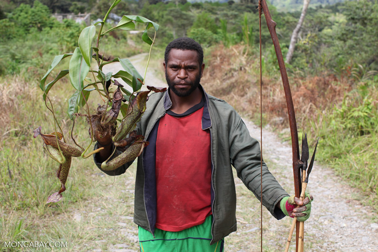 Mouley man collecting pitcher plants