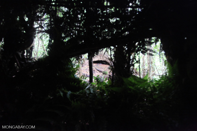 Bower built by a male Vogelkop Bowerbird, as seen from a bird blind