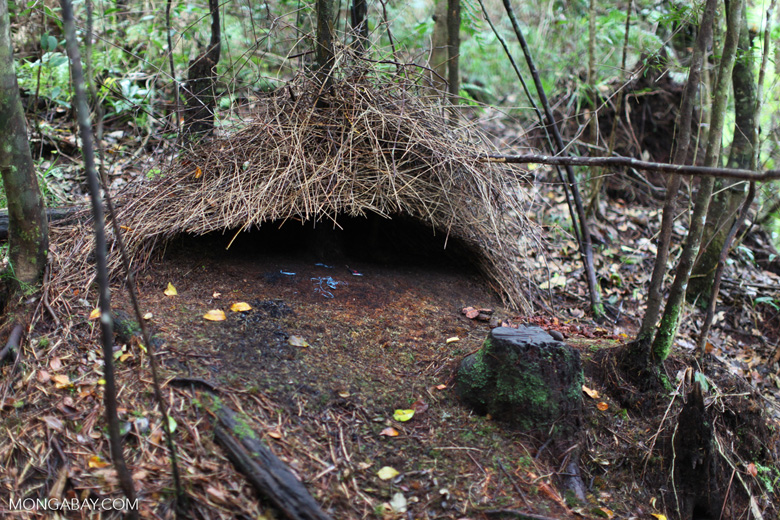 Bower built by a male Vogelkop Bowerbird (Amblyornis inornatus) using blue colored objects to attract a female