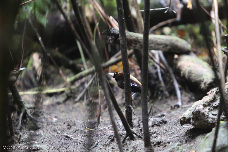 Magnificent Bird-of-paradise (Cicinnurus magnificus) [male]