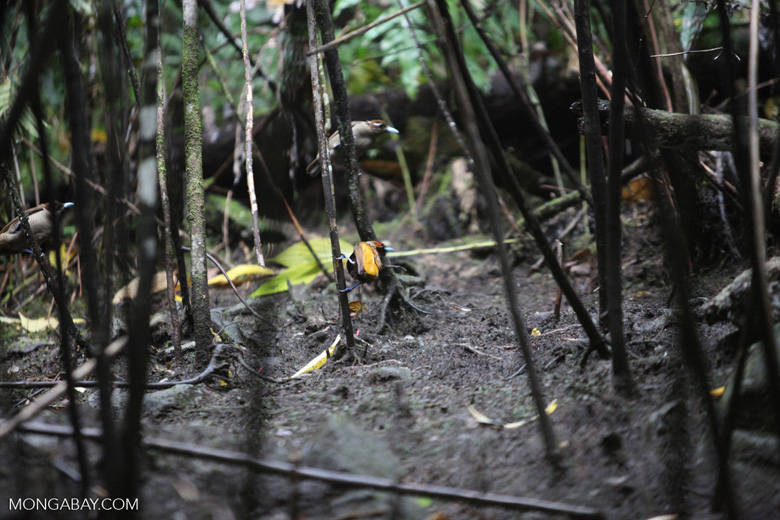Magnificent Birds-of-paradise (Cicinnurus magnificus) [male and females in courtship dance at lek]