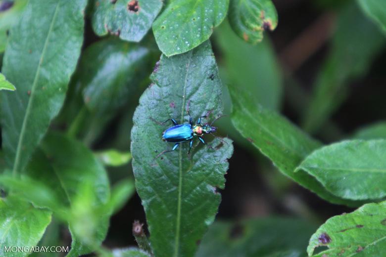Blue, orange, and green beetle