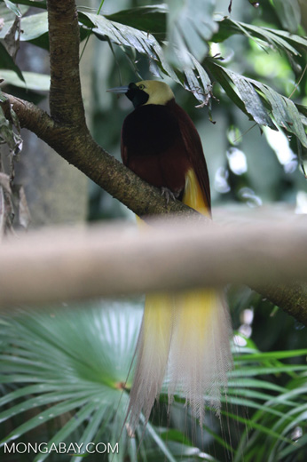 Lesser Bird of Paradise (Paradisaea minor) [male]