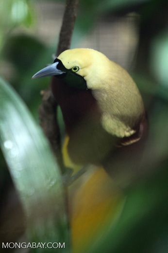 Lesser Bird of Paradise (Paradisaea minor) [male]