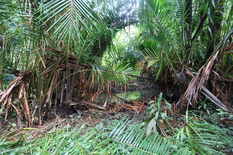 Palm swamp near Manokwari, West Papua