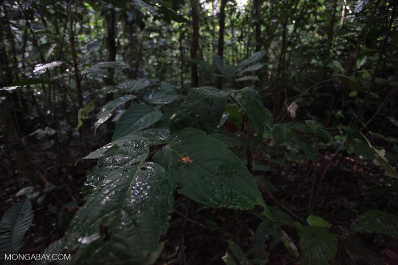Orange cricket in the New Guinea rainforest