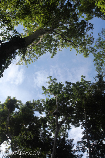 New Guinea rain forest canopy
