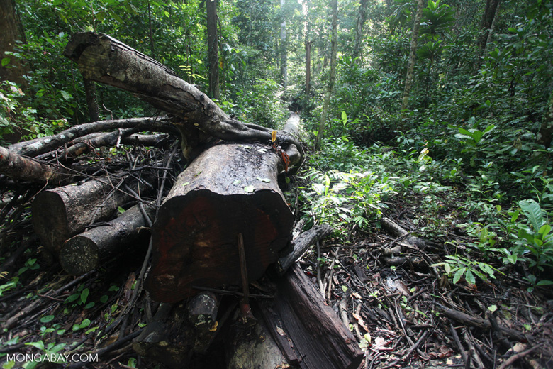 Pile of logs in the New Guinea rainforest