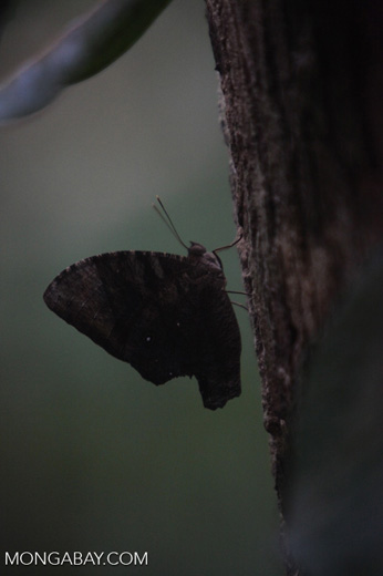 Cryptic butterfly