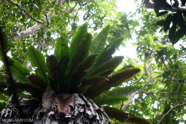 Bird-nest fern