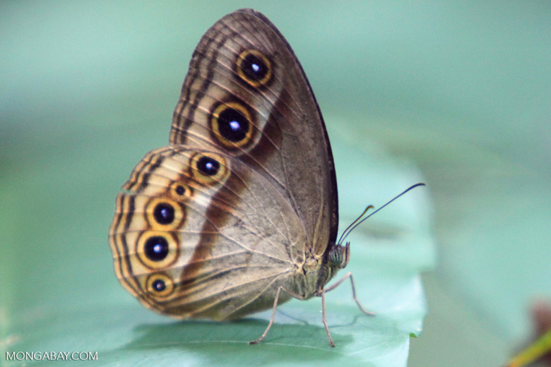 Orange and brown butterfly with eyespots and blue eyes