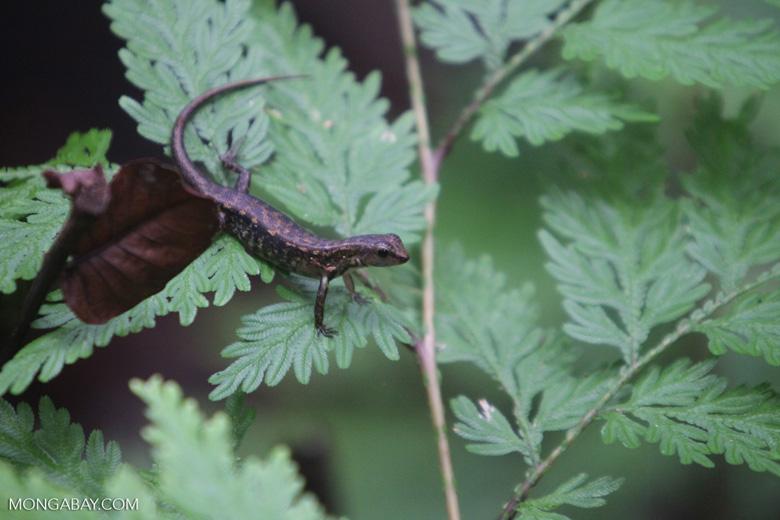 Unknown lizard