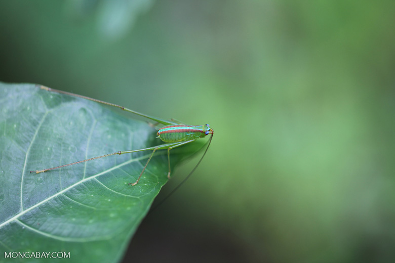 Green katydid with a neon turquoise stripe