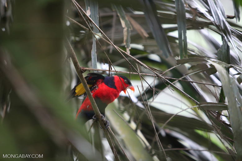 Tricolored Lory (Lorius lory)