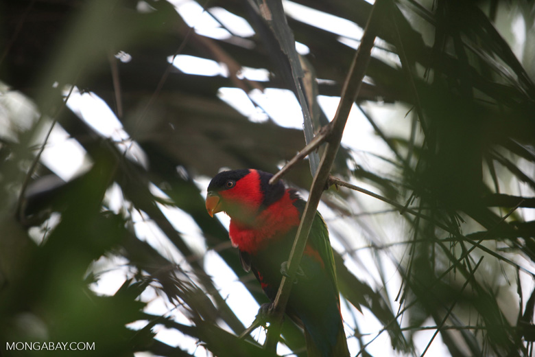 Black-capped Lory (Lorius lory)