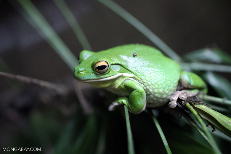 Dumpy Tree Frog (Litoria caerulea)