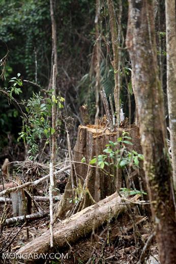 Smallholder deforestation in the Arfak mountains