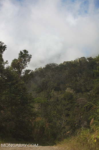 Rainforest canopy in the Arfak Mountains