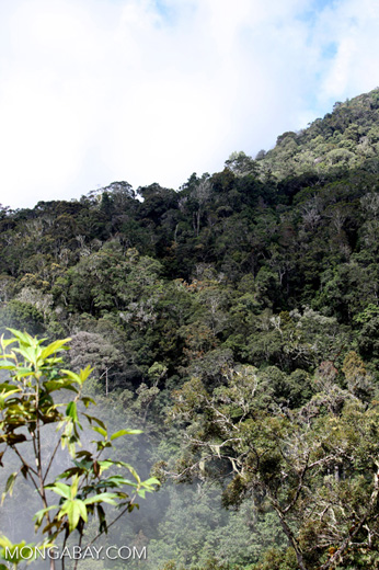 Rainforest canopy in the Arfak Mountains
