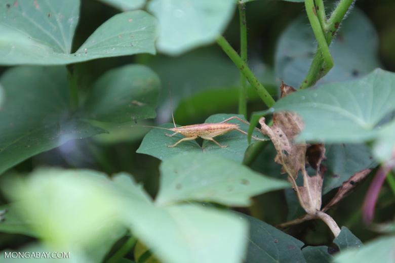Beige and yellow katydid