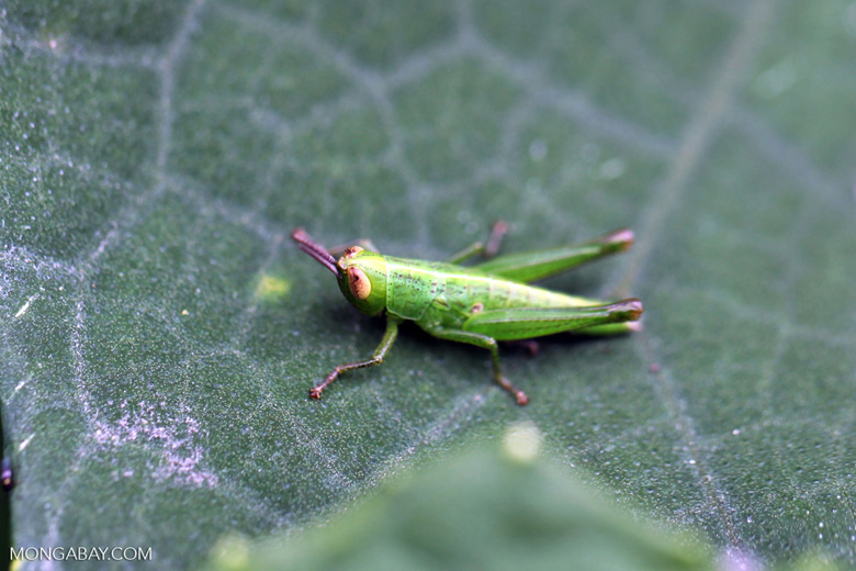 Green grasshopper with orange eyes