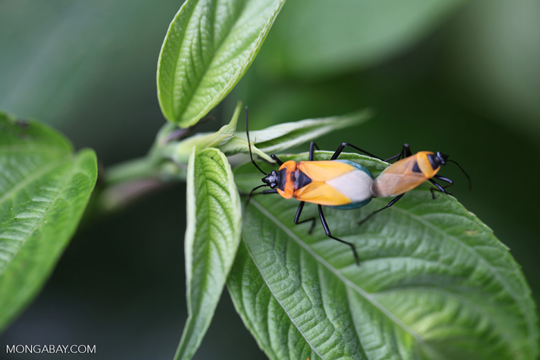 Orange, turquoise, black, and white insects mating